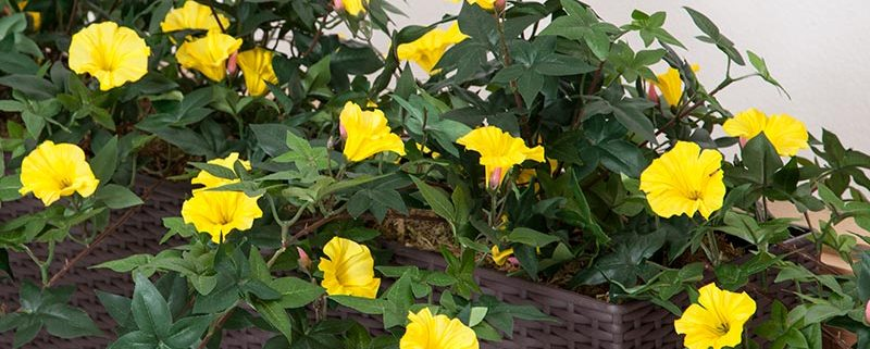 Window Box with Outdoor Artificial Morning Glory Vine - Yellow Flowers