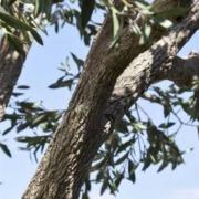 Replica Black Olive Tree